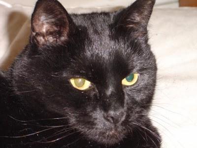 Pie, a black cat