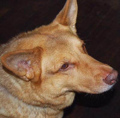 My german shepherd mix dog Lucy