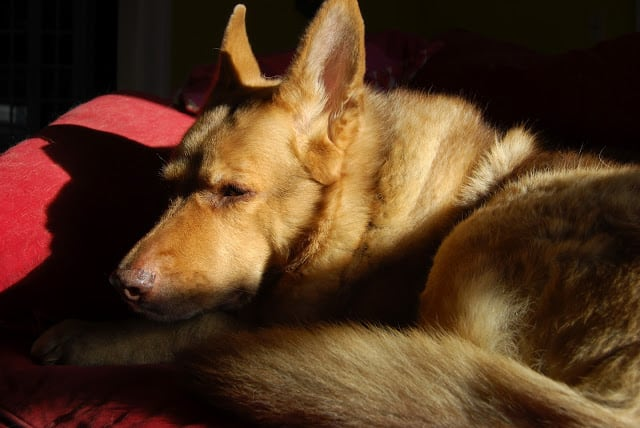 Lucy, a beautiful German shepherd, on a red couch.