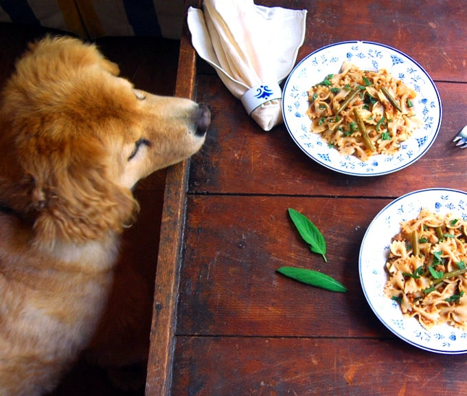 Opie my beautiful dog looking at the Bowtie Pasta in a Light Bolognese in plates.