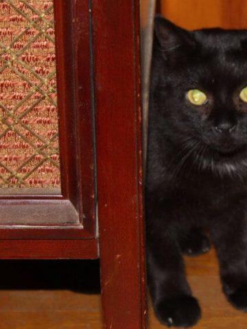 Kala Jamoon the cat. #Pets #outdoorcat #feralcat #feline #adoptionstory HolyCowVegan.net