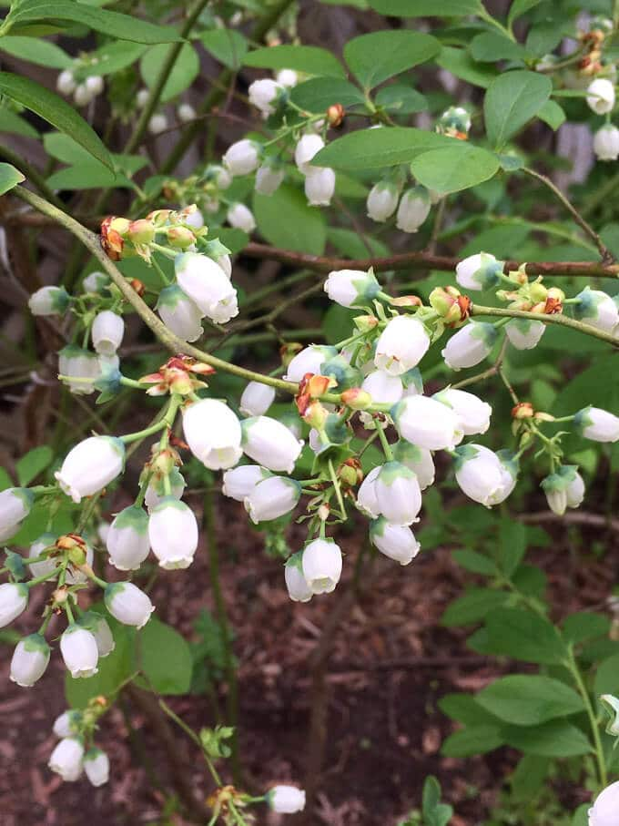 Photo of white blueberry blossoms