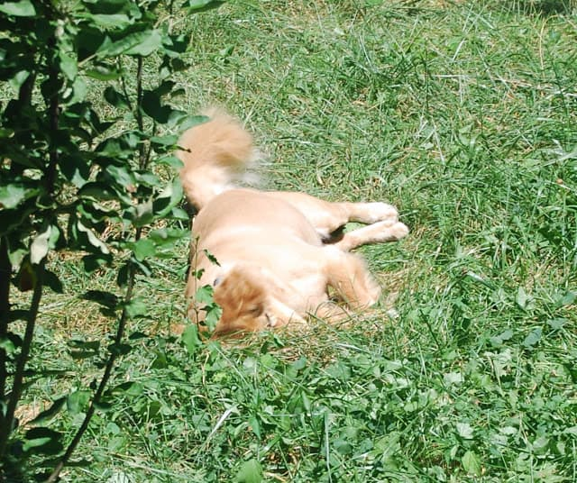 Photo of my incredibly beautiful dog Opie, a golden retriever chow mix, rolling around in the grass.