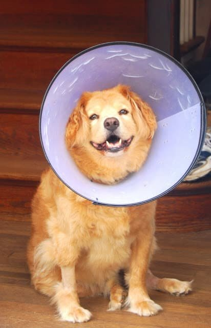 Photo of Opie  the dog with a cone around his head.