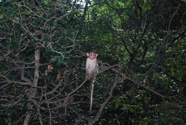 Photo of baby monkey in a tree near Madurai India.