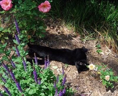 Cannoli, a black cat, rolling in the garden bed.