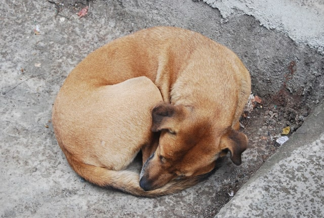 A homeless dog lies on the concrete in Bombay.