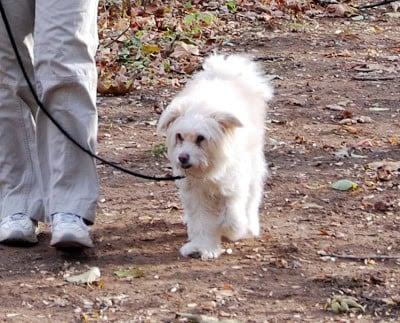 Photo of my gorgeous dog Freddie walking on a leash.